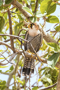 Often found in Borassus palms (though not here!), Red-necked Falcon is a widespread sub-Saharan species that hunts birds and bats in low chases, often at dusk. An allopatric subspecies is found in India and is sometimes considered a full species, Rufous-necked Falcon. Photo by participant Gregg Recer.