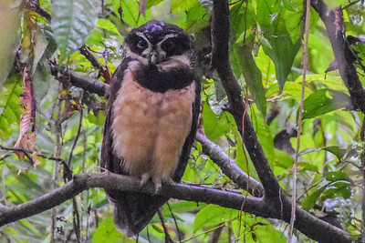 Even when soggy, owls intrigue us. Spectacled Owl's reverberating voice (hence its genus name, Pulsatrix) is often heard at night in tropical forests, but birds on day roosts are difficult to find. Photograph by Costa Rica participant Jay Pruett.