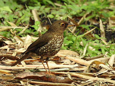 Jesse Fagan took this super image of a Forest Thrush at Les Chuts de Carbet (Carbet Falls) on Guadeloupe. This scarce species also inhabits forest on Montserrat and Dominica.