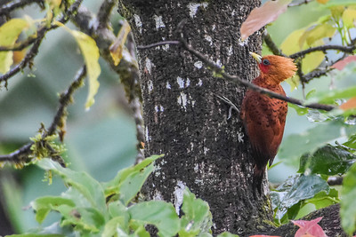 A retiring woodpecker of humid lowlands and foothills, Chestnut-colored Woodpecker is usually seen in pairs or as part of a mixed-species flock in Central America. Our group enjoyed seeing this one on the Costa Rica tour. Photograph by Jay Pruett.