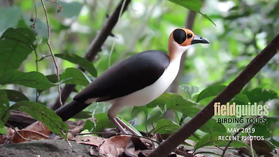 Once known as Yellow-headed Picathartes, the otherworldly White-necked Rockfowl is the uncontested grail bird of West Africa, secretive but hardly shy, a bird that moves by remarkable leaps and bounds through gallery forests and caves. This image, by participant Craig Caldwell on the Ghana: Window into West African Birding tour, provides an avian ambassadorial welcome to our Recent Photo Gallery for May 2019. Thanks for tuning in. We hope you enjoy the (virtual) tour!