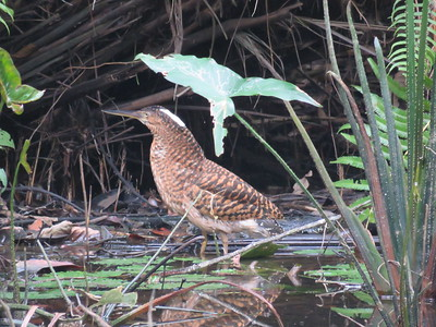 White-crested Bittern, formerly White-crested Tiger-Heron, is a secretive, seldom-seen species of mangrove swamps and forested streams in West Africa. It is usually nocturnal, but this one obliged by putting in a daytime cameo for the Ghana tour, photographed by Craig Caldwell. (In case this isn't enviable enough, this bird was later photo-bombed by the finfoot!)