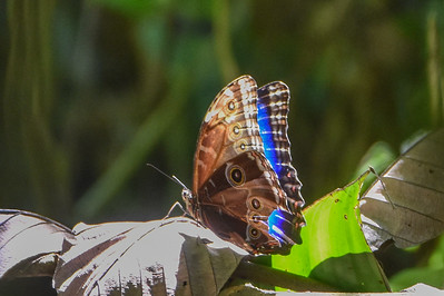 Cobweb Morpho (Morpho deidamia) is a fairly common but lovely butterfly we often see in forest gaps in Costa Rica. Jay Pruett snapped this image on our recent tour there.