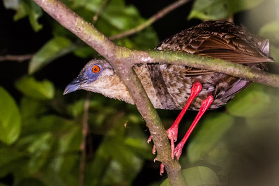 Africa's largest rail is also its most bizarre. On the Ghana tour, Gregg Recer photographed this Nkulengu Rail our group saw on its night roost, from which it was delivering its raucous, honking song. Its name, Nkunlengu, is derived from the song, an instance of West African onomatopoeia. Fantastic!