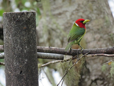 Participant Mary Elfman photographed this spectacular Red-headed Barbet, also on our Costa Rica tour. Though usually found in mixed-species flocks, bounding along branches in search of prey in dead leaves, these barbets can be tempted by feeding stations at several lodges!