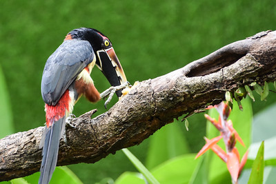 Widespread in the American tropics from Mexico to Brazil, Collared Araçari is a brazen small toucan that often enters gardens or plantations in search of fruit and seeds. Flocks follow each other in comical single file through the canopy, giving loud, metallic pink! calls. Photograph by participant Jay Pruett.