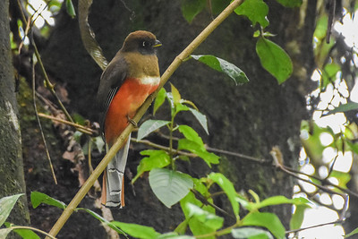 Trogons in their elegance seem made for photography, and their tendency to sit quietly as they scan for prey helps photographers (and birders!) in their work. This female Collared Trogon posed for Jay Pruett on the Costa Rica tour.