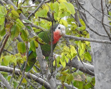 Island-hopping Jesse Fagan also guides our spring tour in the Bahamas, where the group very much enjoyed this Cuban Parrot of the local subspecies at Palm Shores, Abaco Island. Photograph by Jesse Fagan.