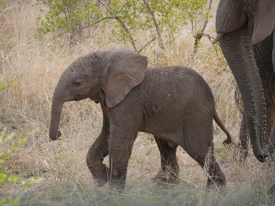 Even when muddy, a baby African Bush Elephant is a terribly cute creature. This one never strayed far from mom at Berg-en-Dal, Kruger National Park. Photo by guide Jesse Fagan.
