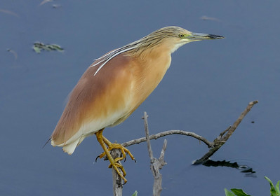 Squacco Heron is a bird we see on dozens of Old World tours but may be, sometimes, a species that we don't fully appreciate, as there are so many birds and mammals that gather near water. Randy Siebert's beautiful portrait reminds us that this species merits our appreciation.