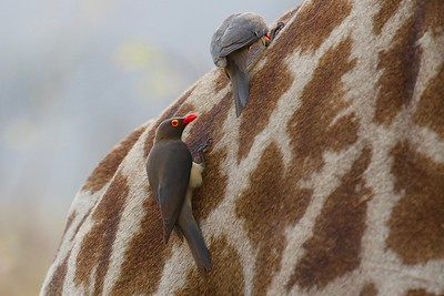 Red-billed Oxpecker, one of two living members of the family Buphagidae, chooses some great perches, such as this Southern Giraffe. Photo by participant John Kricher.