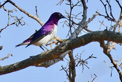 One's first Violet-backed Starling is usually accompanied by a gasp, so rich is the violet color of head and upperparts. The group saw this species both at Mkuze Game Reserve and Kruger National Park. Photo by John Kricher.