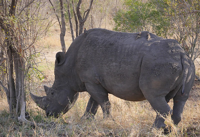 Or this mighty White Rhinoceros at Kruger National Park! Photo by guide Jesse Fagan.