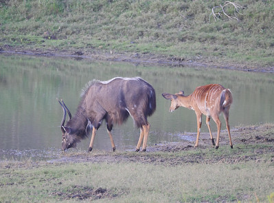 Nyala (Tragelaphus angasii) is still a relatively common antelope in South Africa, especially in Zululand, and the group found many approachable near Bonamanzi Lodge and also in Mkuze and Kruger. Photo by guide Jesse Fagan.