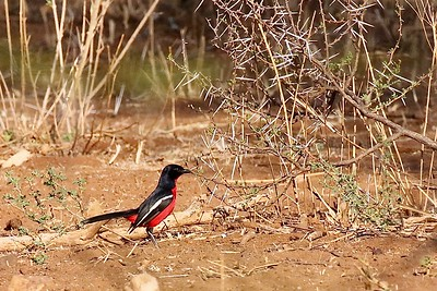 Arguably one of Africa's most beautiful birds, the Crimson-breasted Gonolek got the tour started with a bang at Polokwane Game Reserve. Photo by participant John Kricher.
