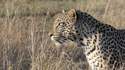 And this lovely Leopard. Photo by participant Randy Siebert.