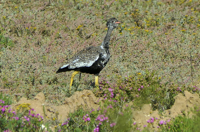 The range-restricted Black Bustard, or Southern Black Korhaan, was one of the bird species originally described by Carl Linnaeus in the 1758 edition of his Systema Naturae. This species is found only in fynbos and other open areas of southern and southwestern South Africa. The group was thrilled to see a male in display flight near Niewoudville and a female (here) in West Coast Park. Photo by participant Randy Siebert.