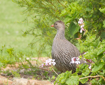 Although a relatively common bird in fynbos habitat, Cape Francolin (or Spurfowl) is restricted to the Western Cape region. Where not hunted, it frequents gardens in small towns and even feeds with domestic chickens in some areas! Photo by guide Jesse Fagan.