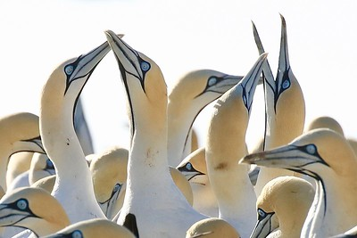 One of the highlights of the South Africa tour is a visit to the Cape Gannet colony, or gannetry, at Lamberts Bay, where at least 4000 nest. In October, the middle of the austral spring, pairs display with ebullience and squabble vigorously with neighboring pairs. Photo by participant John Kricher.