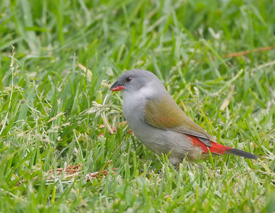 This female Swee Waxbill foraged at close range on grass seeds near Cape Town. This species is found only in southern Africa, north into Mozambique and Zimbabwe. Photo by guide Jesse Fagan.
