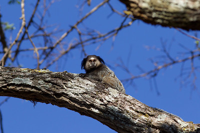 Getting up close and personal with a Black-tufted Marmoset is easily done with a higher vantage...