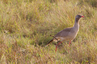 ...or on a phenomenal Red-legged Seriema, one of the signature large birds of the cerrado, whose forlorn-sounding, trumpeting calls seem of a piece with the savanna.