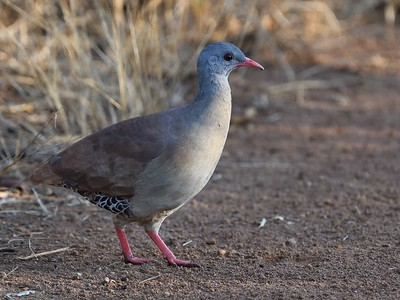 The cerrado is also home to an impressive array of larger birds--tinamous, raptors, and parrots among them. Participant Doug Clarke sent in this grand portrait of a Small-billed Tinamou, a fairly common bird of the savanna that was often heard during the tour but is seldom so nicely photographed.