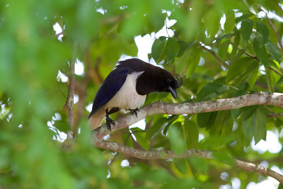 The well-named Curl-crested Jay is nearly a Brazilian endemic, found also in small portions of Paraguay and Bolivia. A classic bird of the cerrado forest and riparian areas, Curl-crested goes around in small groups, eating mostly insects, fruits, and nectar.