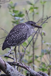 Other rare southerners, like this young Yellow-crowned Night-Heron on Monhegan, probably disperse northward to the Maine coast and islands after the nesting season, to take advantage of the remaining warm days and abundant food before moving southward as winter approaches.