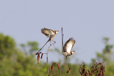 On the Safari Brazil tour, the cerrado (tropical savanna) seems to have tyrannid flycatchers at every turn, like these strange Streamer-tailed Tyrants (not to be confused with Strange-tailed Tyrants)....