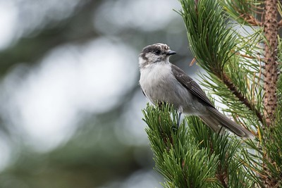 "Canada Jay, formerly known as Gray Jay, was an especially popular bird with the group in the Cascades. The species' nickname ""Camp Robber"" hints at its relationship with humans and its bold, inquisitive nature. (Photo by participant Pete Peterman.)"