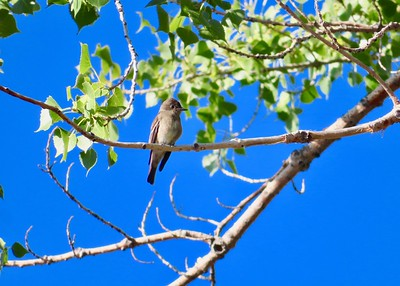 In eastern Oregon, Malheur National Wildlife Refuge provides an ideal stopover for passerine migrants like this Western Wood-Pewee. (Photograph by participant Mona Gardner.)