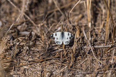 We love that our participants admire all things great and small, just as we do. Here a fresh Western Bath White rests in a stubble field. (Photo by participant Judie Dunn.)