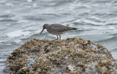 This young Wandering Tattler was among 18 shorebird species noted along the coast, including Black Turnstone and Surfbird. Gulls, terns, cormorants, Sooty Shearwaters, Pigeon Guillemots, Common Murres, Cassin's Auklets, Rhinoceros Auklets, and Marbled Murrelets also put in appearances. (Photo by participant Pete Peterman.)