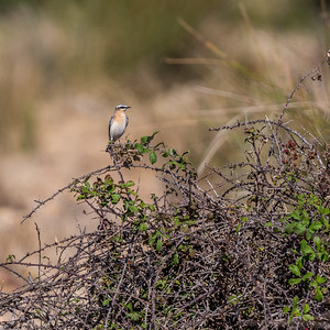 A southbound migrant from the Arctic, bound for Africa, this Northern Wheatear was cooperative at the Crau steppe this year. (Photo by participant Judie Dunn.)