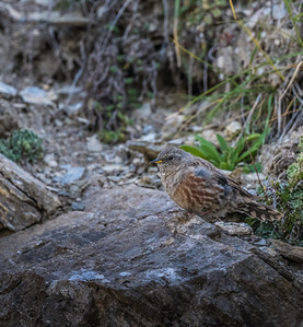 Often a tricky bird to find in autumn in France and Spain, Alpine Accentor played hard-to-get this time, with this bird at last allowing close approach as it foraged at Col du Tourmalet (famous to Tour de France fans) on the final day of the tour. (Photo by participant Judie Dunn.)