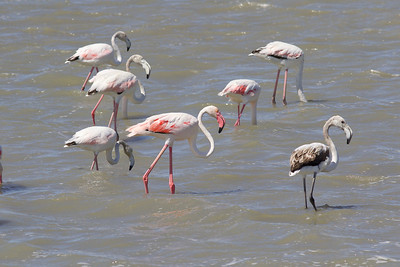 The Greater Flamingo of the Old World, now split from the American Flamingo of the New, is not as vividly colored as its counterpart but makes an equally fascinating subject for study and photography. The young bird at right was hatched in 2019; several yearlings are on the left; and the adult is at center. Happily, flamingos are still numerous in France and adjacent Spain. (Photo by guide Marcelo Padua.)