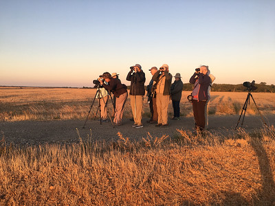 While in the Camargue, our tour also visits a small native grassland near St.-Martin-de-Crau that most birders call the Crau steppe (the full name is Reserve Naturelle Nationale des Coussouls de Crau). The beautiful refuge is home to a small number of Eurasian Thick-knees, Lesser Kestrels, Tawny Pipits, shrikes, and larks and makes a nice place to stretch the legs after a delicious breakfast. (Photo by guide Marcelo Padua.)