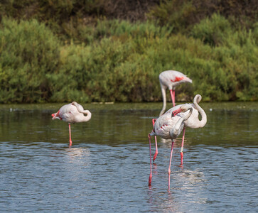 Note that the second flamingo back on the right is wearing a leg band with alphanumeric code M359. It was banded as a fledgling in 2008: Italian ornithologists banded this bird and many more at Stagno di Macchiareddu on the Mediterranean island of Sardinia. (Photo by participant Judie Dunn.)