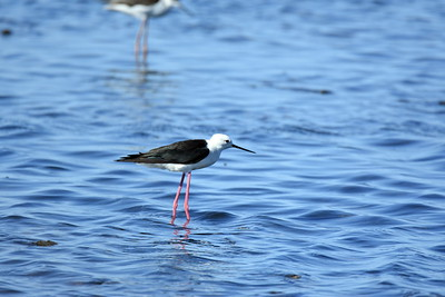 Shorebird migration can add to the thrill of the season, as this Black-winged Stilt in the Camargue demonstrates, though water levels play a role in where shorebirds stop over each year. (Photo by participant Henry Feilen.)