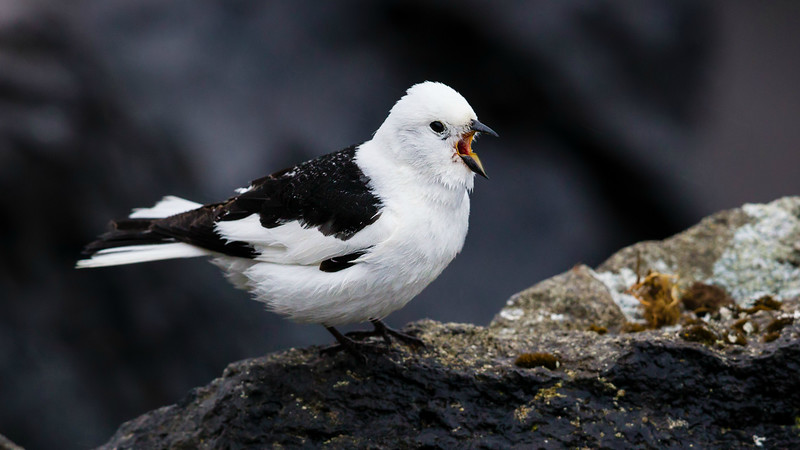 Pied piper on St Paul Island in the Pribilofs: a Snow Bunting photographed by participant Tony Quezon.