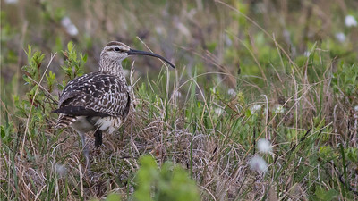 ...Bristle-thighed Curlew! We might have seen this same bird (who knows?) earlier in the year on our Hawaii tour! Photos by guide Doug Gochfeld.
