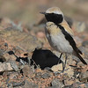 Participant Becky Hansen made this fine portrait of a Desert Wheatear, its color combo breaking up the pattern nicely against the rocky landscape.