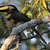 Several species of small toucans are possible on the Sacha tour. This is Many-banded Aracari by guide Mitch Lysinger.