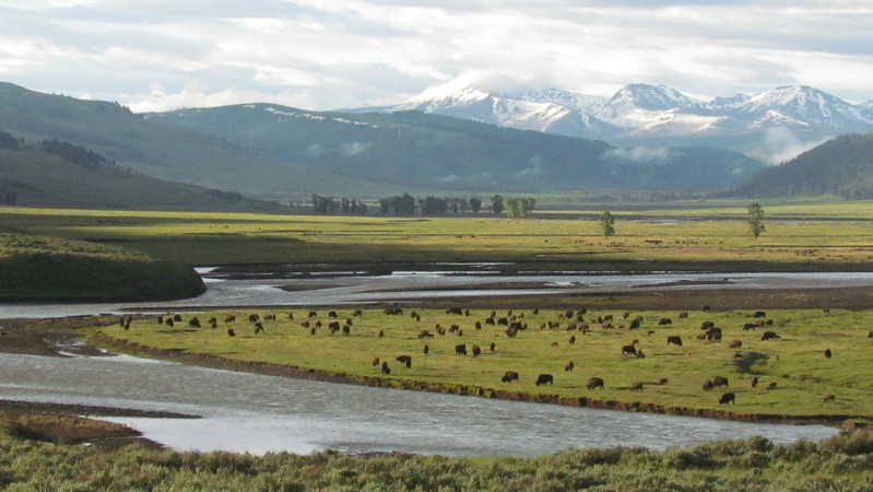 Continuing in the grand vista department, a lovely long view of the Lamar Valley dotted with Bison in Yellowstone NP, by guide Terry McEneaney on his recent Montana tour.