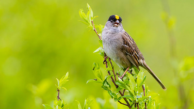 If you want to see Golden-crowned Sparrows belting it out in their heartland, Alaska's the place to go. Photo by participant Tony Quezon.
