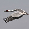 We said there were more cranes...and we close this month's gallery with a lovely White-naped Crane from the Dasinchilen wetland by Mongolia participant Daphne Gemmill. Thanks to all who contributed, and to you for watching. Till next month, good birding from all of us at Field Guides!