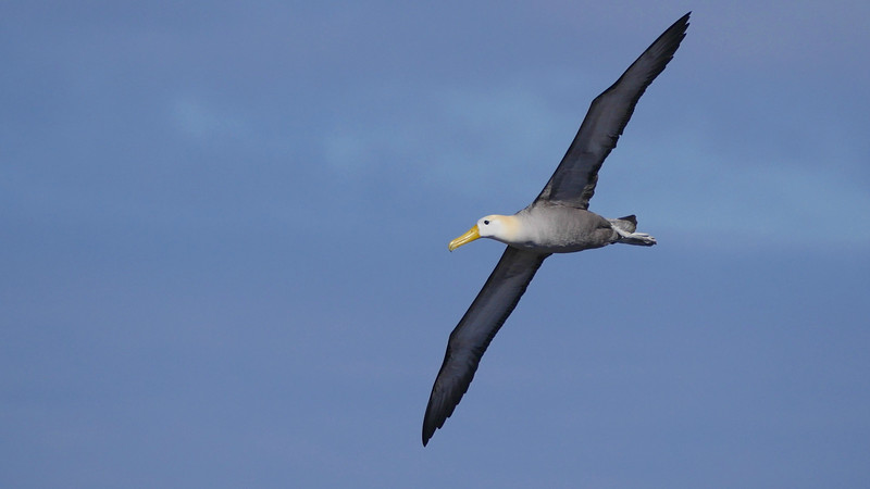 Huge Waved Albatrosses are fascinating to watch around their nests on Española, and simply breathtaking in flight. Photo by guide Jesse Fagan.