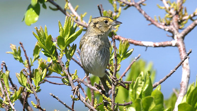 Not flashy, but also on the most-wanted list for participants: Nelson's Sparrow. Photo by guide Chris Benesh.