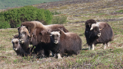 Many of our Alaska groups are fortunate to find Muskox on the tundra outside of Nome, as we did again this year. Photo by participant Steve Rannels.
